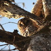 Owl, Beider Forest in Four Holes, Swamp, Dorchester County, South Carolina by congaree