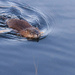 Muskrat Swim by tosee