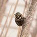sparrow by aecasey