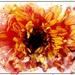 Lucy's Week- Flower 3