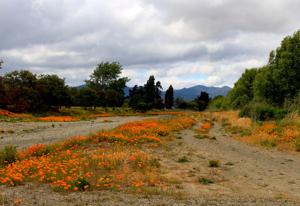 A river of poppies by kiwinanna