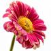 Flower by elisasaeter