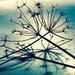 Spider weed by pistache