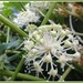 Fatsia Japonica - Caster oil plant  by beryl