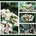 Viburnum Tinus  by beryl