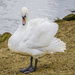 Swan On Land