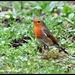 Robin by rosiekind