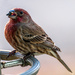 House Finch on 365 Project