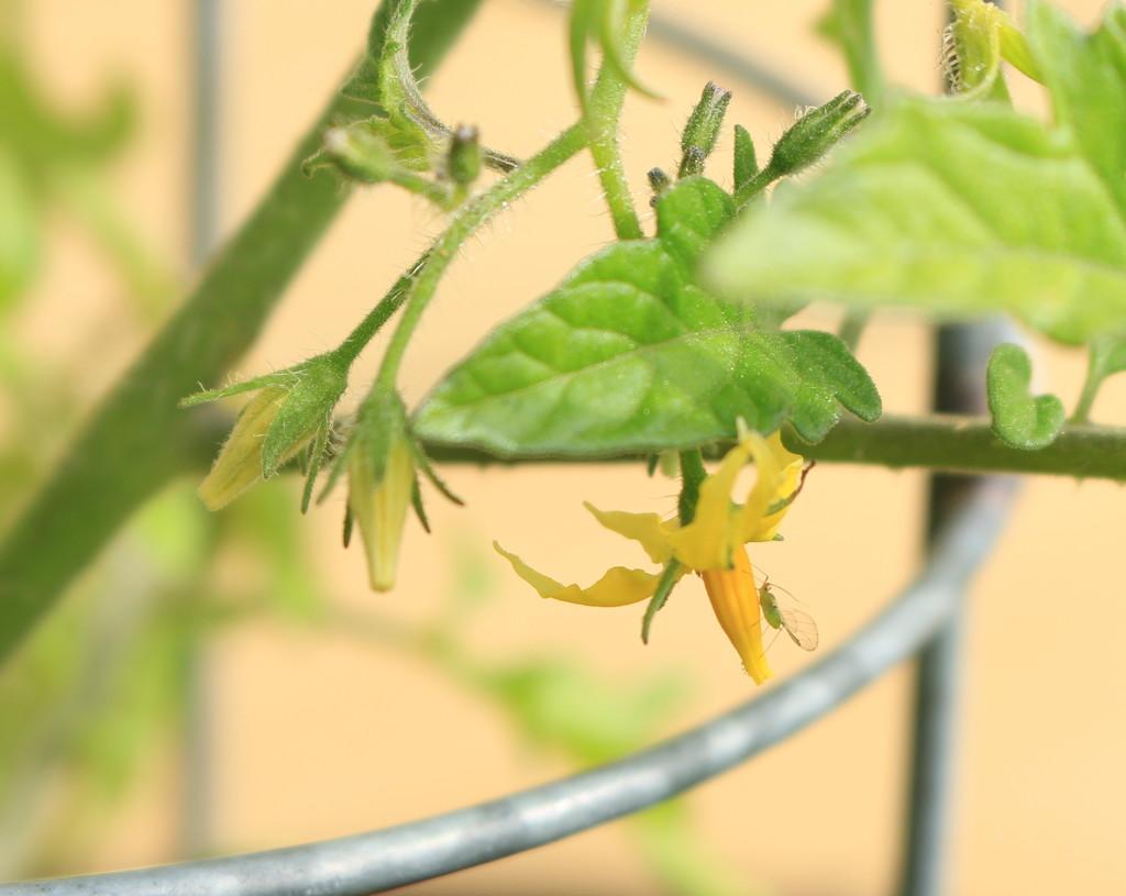 Tomato bug by kiwinanna