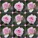 winter roses by quietpurplehaze