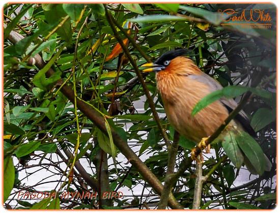 Pagoda Mynah Bird, The Aviary, Waddesdon Manor by carolmw