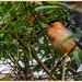 Pagoda Mynah Bird, The Aviary, Waddesdon Manor