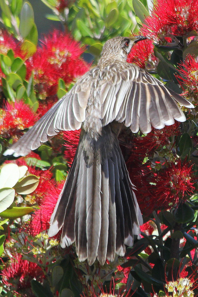 Spread eagled - but it's a wattlebird! by gilbertwood
