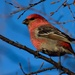 male pine grosbeak by mjalkotzy