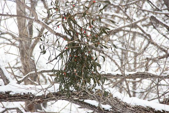 Mistletoe with berries by bellatuk