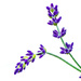 My NEW Lavender! by gigiflower