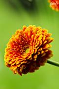 3rd Dec 2015 - Orange flower