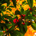 Holly Berries Against the Maple Tree by milaniet