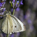 Cabbage white by pusspup