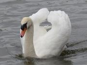 15th Nov 2015 - A Beautiful Swan