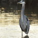 Great Blue Heron by mccarth1