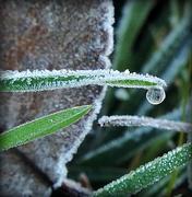 5th Dec 2015 - Frozen drop!