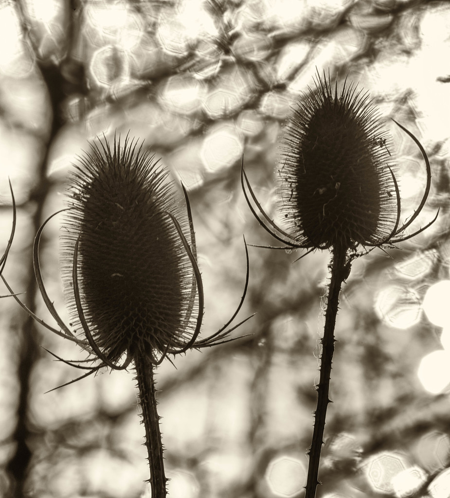 6th  December 2015    - Teasel and sparkling bokeh-1 by pamknowler
