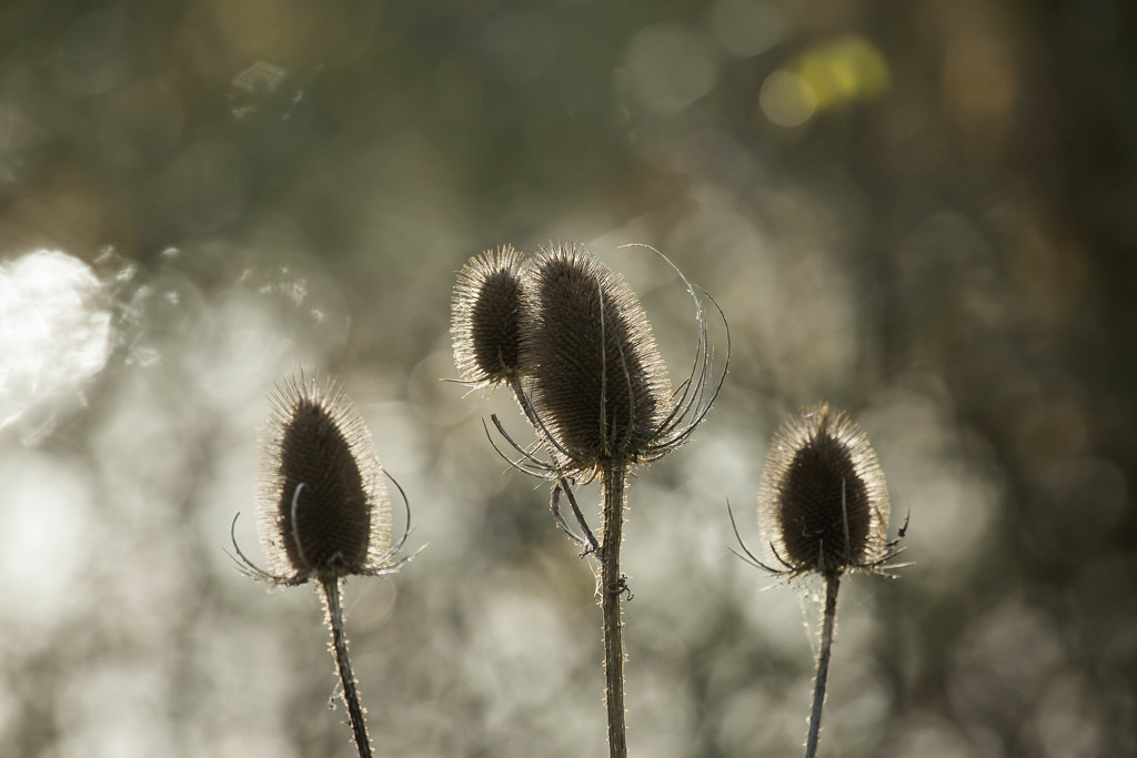 6th  December 2015    - Teasel and sparkling bokeh 2 by pamknowler