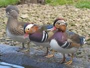 20th Nov 2015 - Young Mandarin Ducks