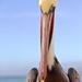 Joe's Pelican by jyokota