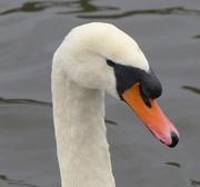 17th Nov 2015 - Mute Swan