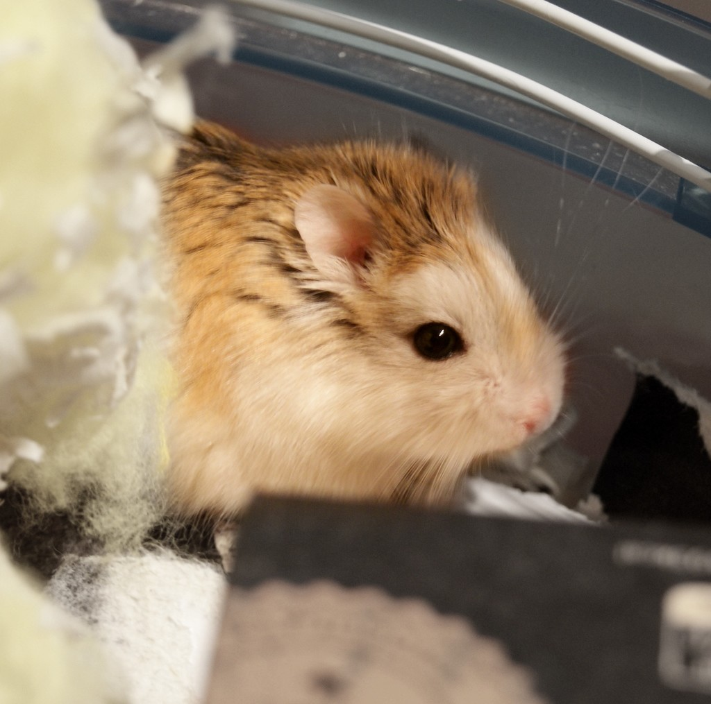 Introducing 'Nugget' the Hamster  by filsie65