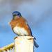 Blue Bird Blue Skies - Beats the Rainy Day Blues by milaniet
