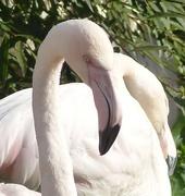 21st Nov 2015 - Flamingos at Martin Mere Wildfowl Trust
