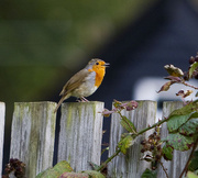 22nd Sep 2011 - The Robin and full Song....