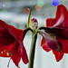 Amaryllis day 5 by elisasaeter