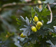 16th Sep 2011 - From Little Acorns.....