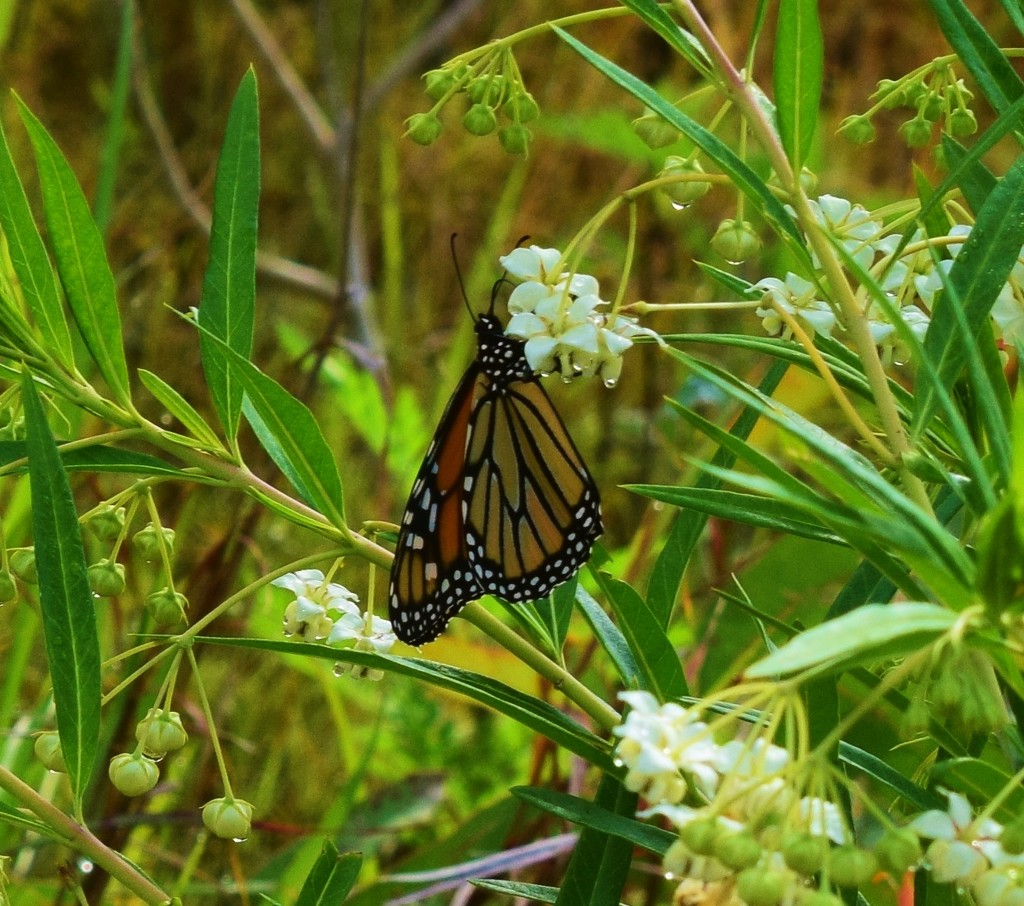 Monarch Butterfly... by happysnaps