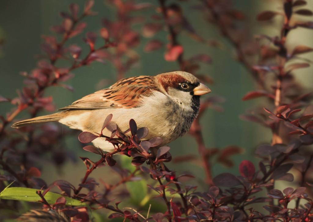 Male Sparrow by shepherdmanswife