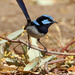 Superb fairy-wren by flyrobin