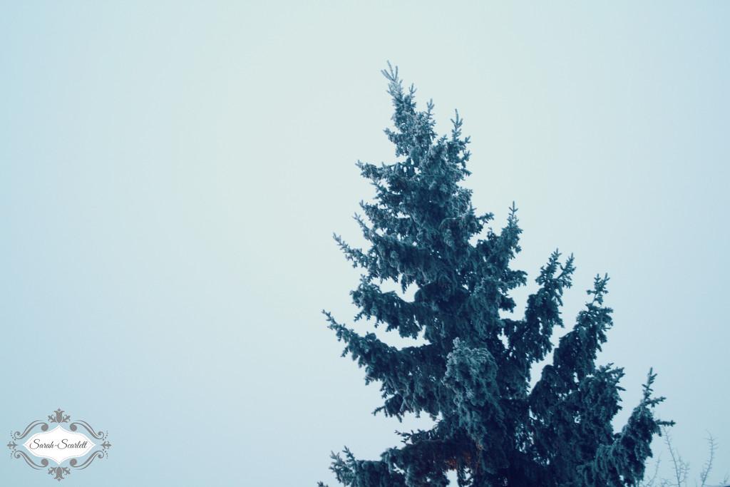 Pine Tree by sarahlh