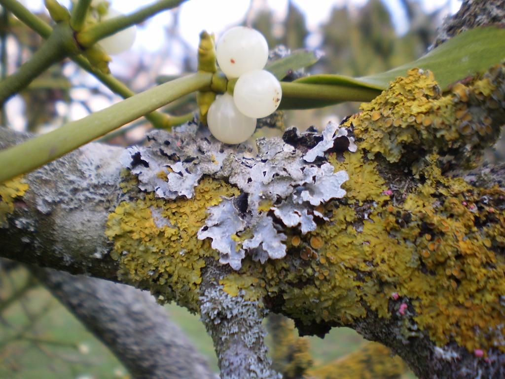 Mistletoe...   Viscum album. by snowy