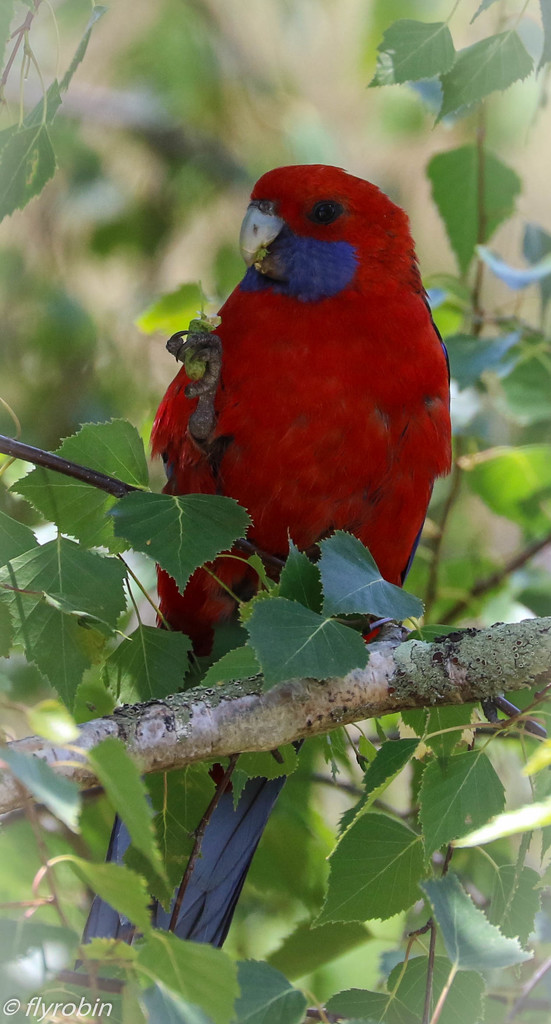 Crimson Rosella feeding by flyrobin