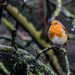 2015 12 13 - Robin by pixiemac