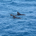 Tennerife Pilot Whales.... by brickmaker