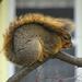 Squirrel by annepann