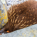 """""""No Echidna here"""" by pusspup"""