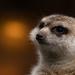 Meerkat by leonbuys83