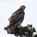 Red-tailed hawk on a gray day by mccarth1