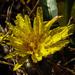 Dew Drops on a Dandelion by milaniet